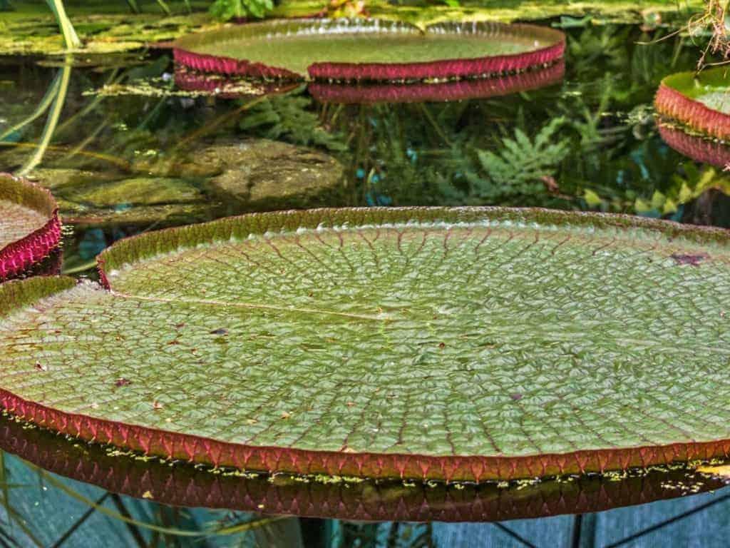 Amazon giant water lilies