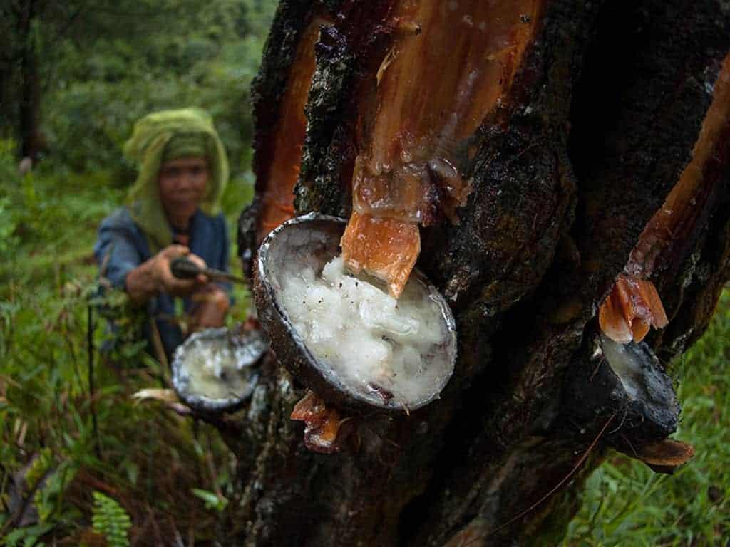 Amazon rubber tree