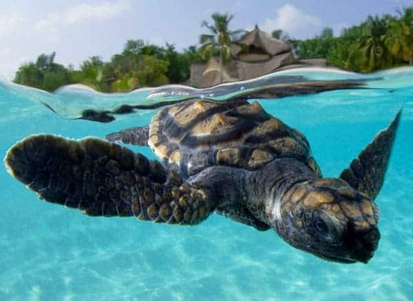 Kandooma-Turtle