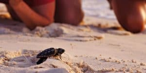 Baby-Sea-Turtle-Hatching
