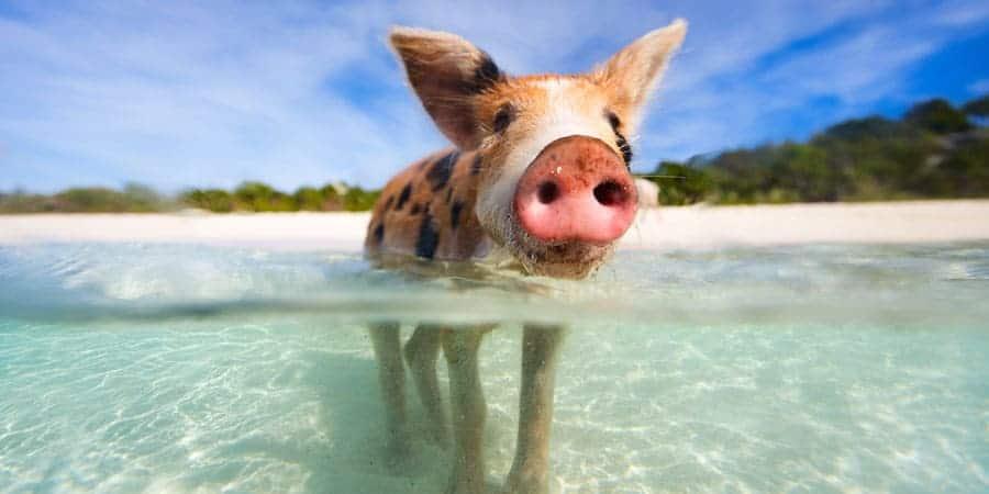 Pig-Beach