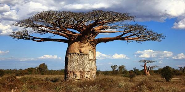 baobab-tree-in-ambilo