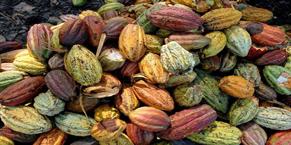cocoa-harvest-on-the-millot-plantation