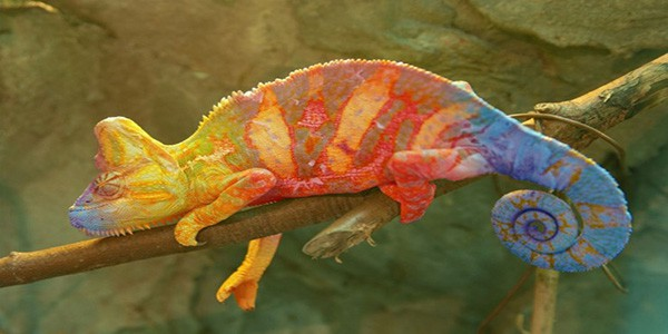 colourful-chameleon-in-amber-mountain-national-park
