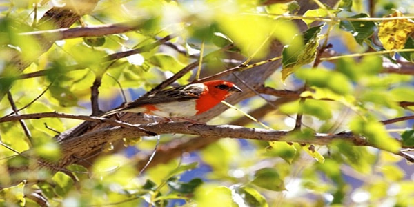 red-fody-endemic-to-madagascar