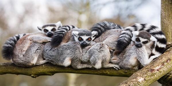 ring-tailed-madagascan-lemurs