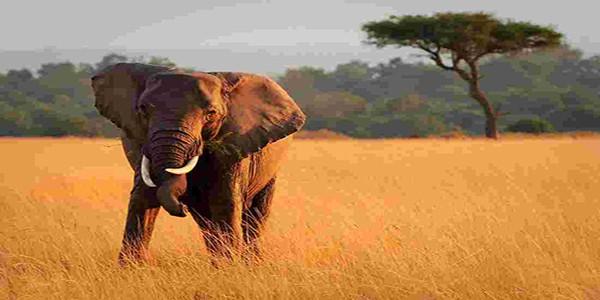 Intrepid Travel-kenya_masai-mara_elephant