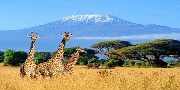 amboseli-giraffes